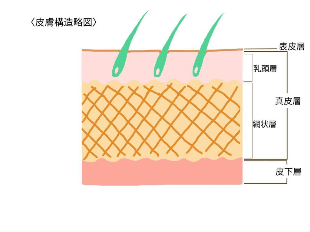牛皮 皮膚構造